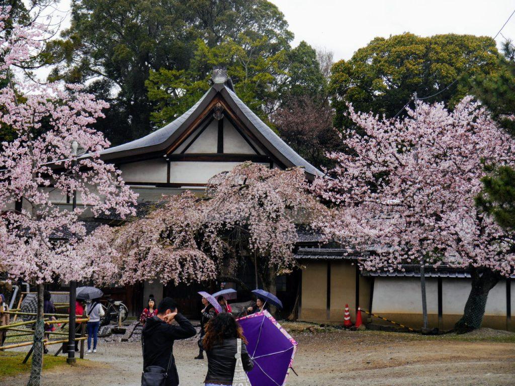 Sakura blooming in Nara