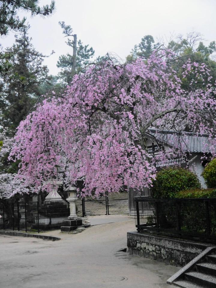 Sakura in bloom on Miyajima